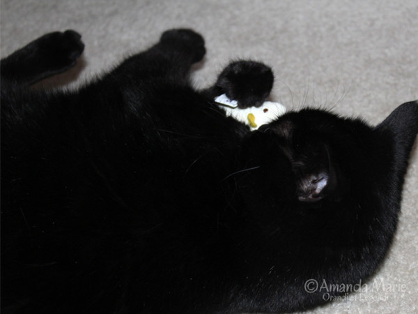 midnight and the mouse toy 1